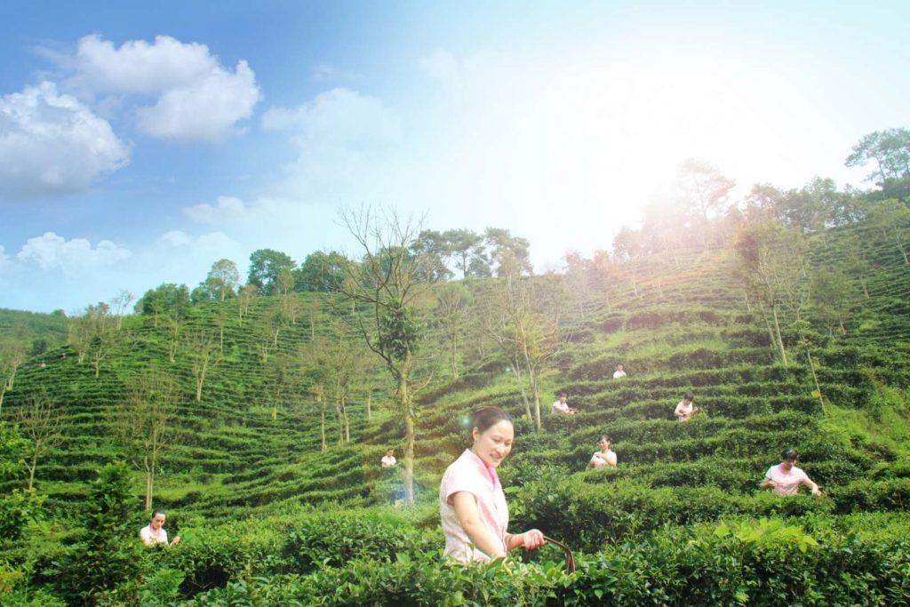 Cueillette du thé Liubao